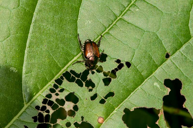 A beetle destroying leaves