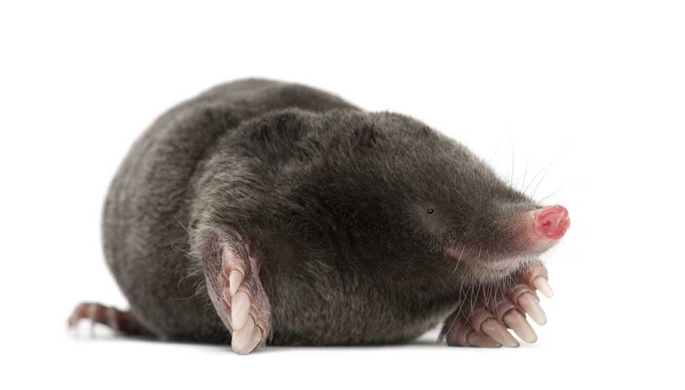 Mole isolated on white