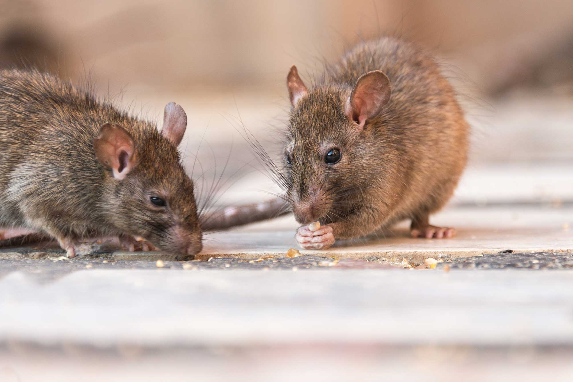 Two mice eating crumbs