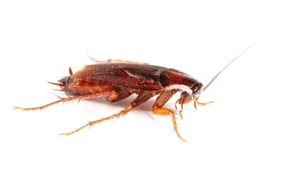 Cockroach isolated on white