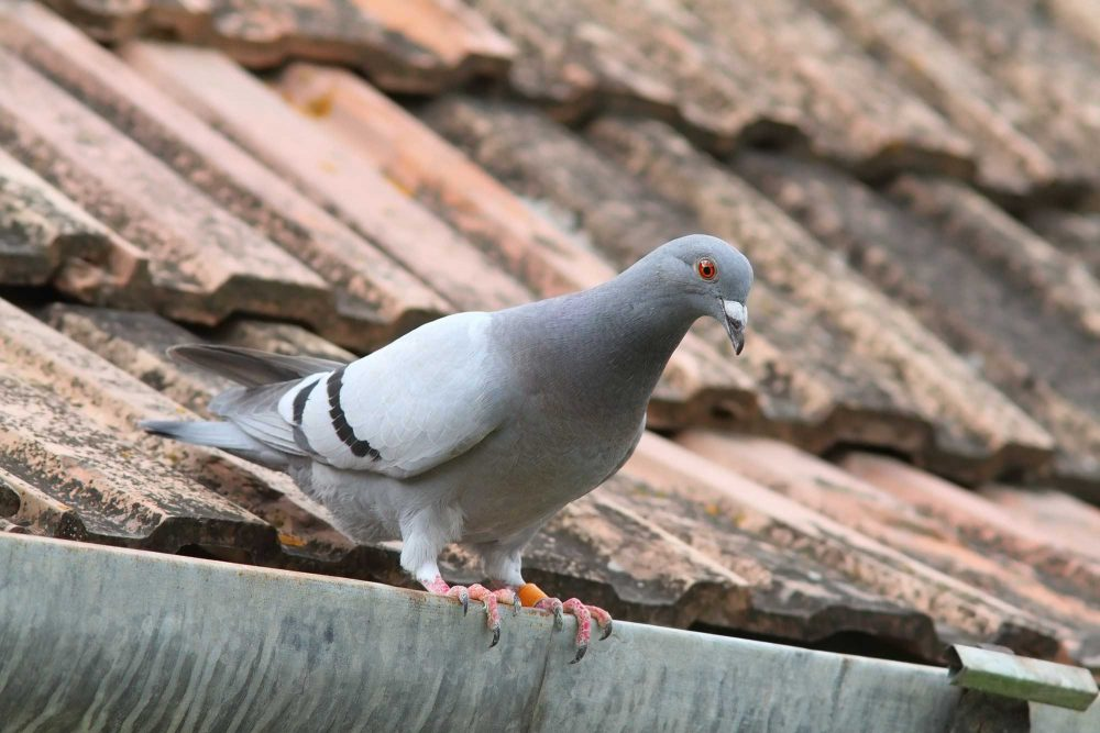 A pigeon sitting on a roof gutter