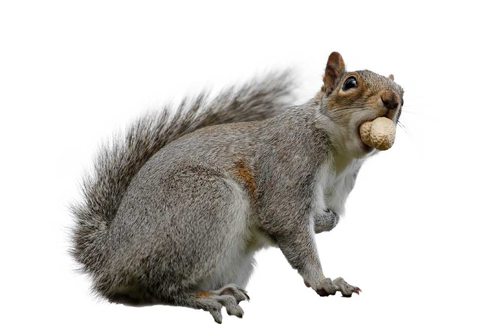 Squirrel with nut in mouth isolated on white