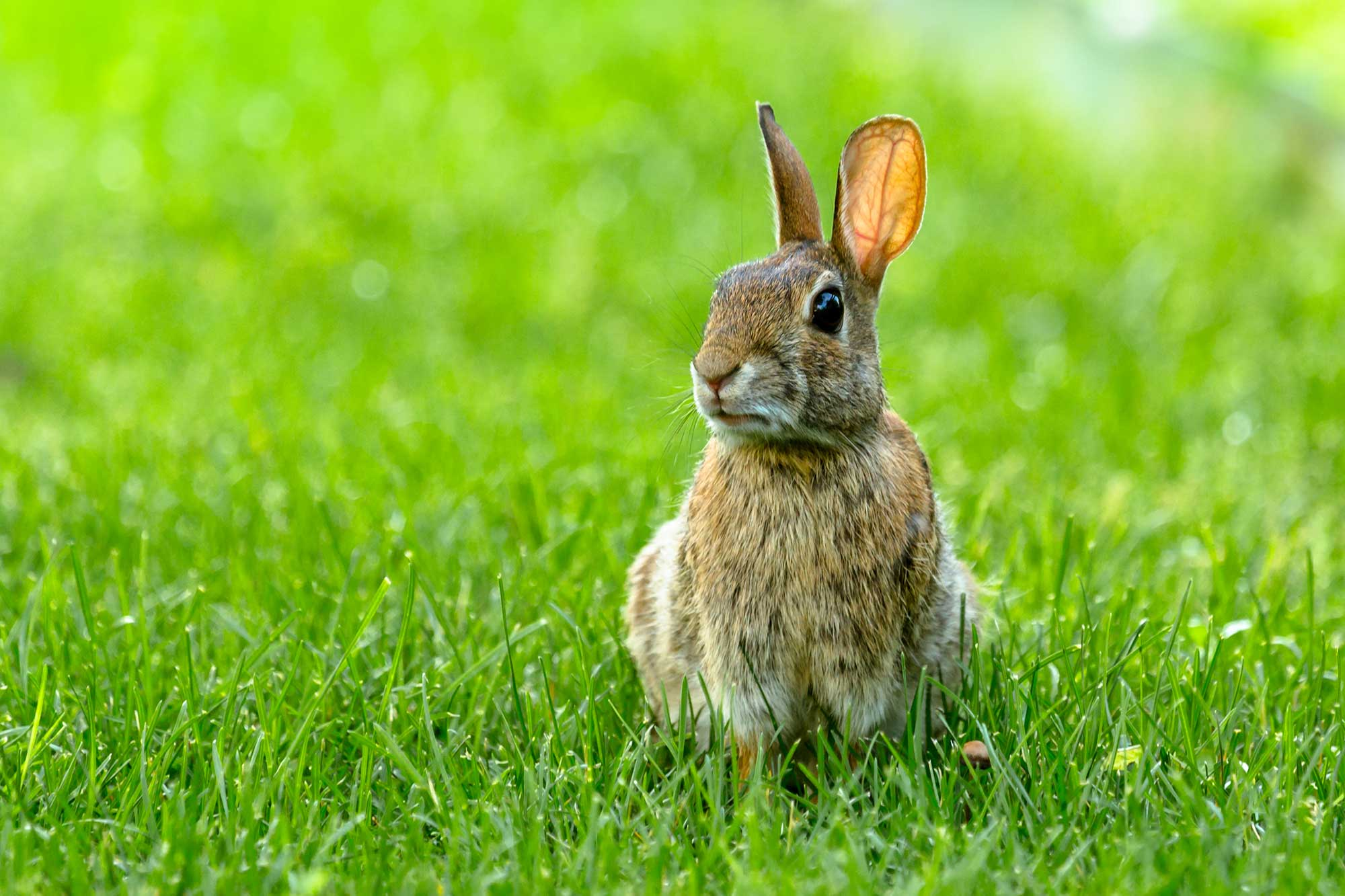 A rabbit sitting on green grass